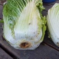 白菜の病気