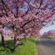 桜ロード満開中