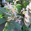 光則寺 彼岸花、すずむしばな、秋海棠
