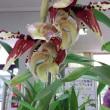 スタンホペア ティグリナ開花