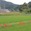和束石寺で白い彼岸花