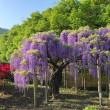 足利フラワーパーク ( 紫色の藤 )