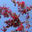 子どもらに記憶語り継ぐ チェルノブイリ原発事故から32年/源平トキワマンサク、紅花トキワマンサクの花。新芽が美しい花散里とフラミンゴ