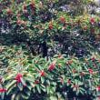 冬に赤い粒を見れば柊と思い 葉っぱがギザギザしていなければ南天と思い