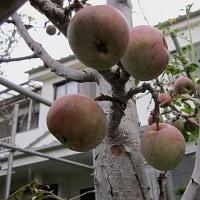 林檎(りんご)という果実