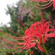 海蔵寺 萩と彼岸花