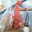 カボチャの追加収穫