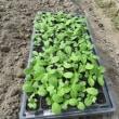 雨が降るというので白菜の苗を定植