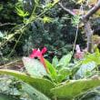 9月の庭  (フウセンカズラほか)