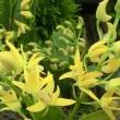 ゴールドナタリーの花は