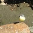 キセキレイは綺麗な鳥です