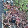 鉢植えブルーベリー