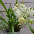 下垂性シンビジューム サラジーンアイスキャスケード開花