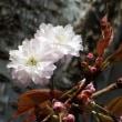 ゴシンザクラ(御信桜)