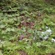 萩の里自然公園の野良ゴボウ(牛蒡)の駆除実験