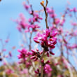 花彩々    ハナズオウ