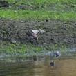 まだいてくれた、沼のヨーロッパトウネン。