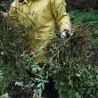玉ねぎの植え付け!