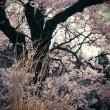 「街道・・」  855  (清水の桜 2)
