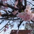 山陰の桜動画 2018年 桜 NO⑦