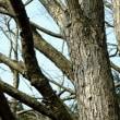 カツラ 株立樹形