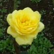 「富士には月見草」と同じくらい「海には薔薇がよく似合う」。