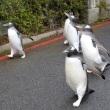 英国式ペンギン散歩2