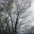 梅林に被さるナラの木