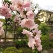 Prunus persica ❛Sasao Shidare❜