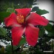 平良幸春沖縄県の花の写真集 ☆ハイビスカス 沖縄こどもの国で撮影
