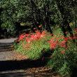 彼岸花とスカイツリー