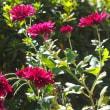 庭に咲いた昭和侘助