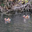12/13探鳥記録写真-2(頓田貯水池の鳥たち:アカハラ、シロハラ、オシドリほか)