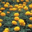 季節の花「アフリカン・マリーゴールド」