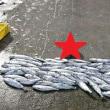 積丹ブルー すげ~続々サクラマス大漁が・・・