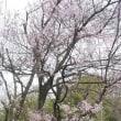 咲いた咲いた、桜が咲いた、カタクリ、スミレも綺麗にさいた。