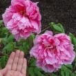 鎌倉のぼたん庭園