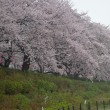 埼玉・権現堂の桜と菜の花