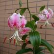 カノコユリが咲きました。