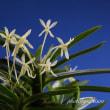 富貴蘭「キバナ」の花