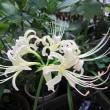 白花ヒガンバナとエピデンドラム Epi lividum.Pollardia livida