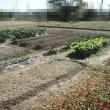 畑、茄子終了・スナップエンドウ畝作り・ハクサイネット外し