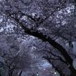 一気に開花の桜 それから…