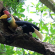 <タンココ保護区で探鳥9>アカコブサイチョウ固有種