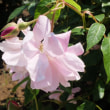 草笛の丘のバラ7