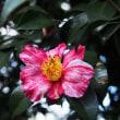 椿の開花が増えてきました