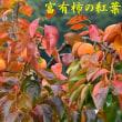 2018/11/12 奥芋谷へイチョウを見に
