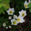 タマスダレ【ゼフィランサス】の花も咲き始め