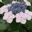 紫陽花…美し〜い🤗