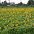 館野小学校前のひまわり畑(館山市)